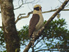 Laughing Falcon (Herpetotheres cachinnans) by WRFred