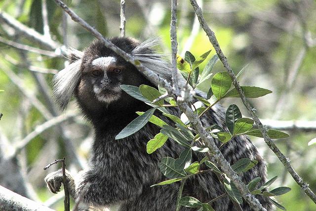 mono carioca