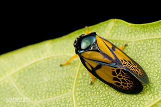 Froghopper (Leptataspis ophir) - DSC_9831