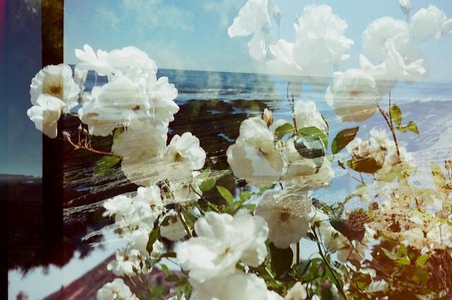 roses / montana de oro