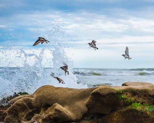 ocean beach birds florida birdsinflight atlanticocean eastcoast ruddyturnstone atlanticcoast arenariainterpres charadriiformes scolopacidae satellitebeach brevardcounty