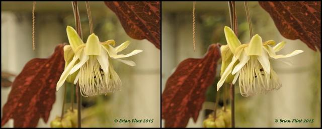 Passiflora telesiphe - 3d cross-view