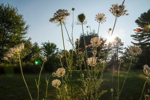 sun glare meadow rays hollis queenanneslace