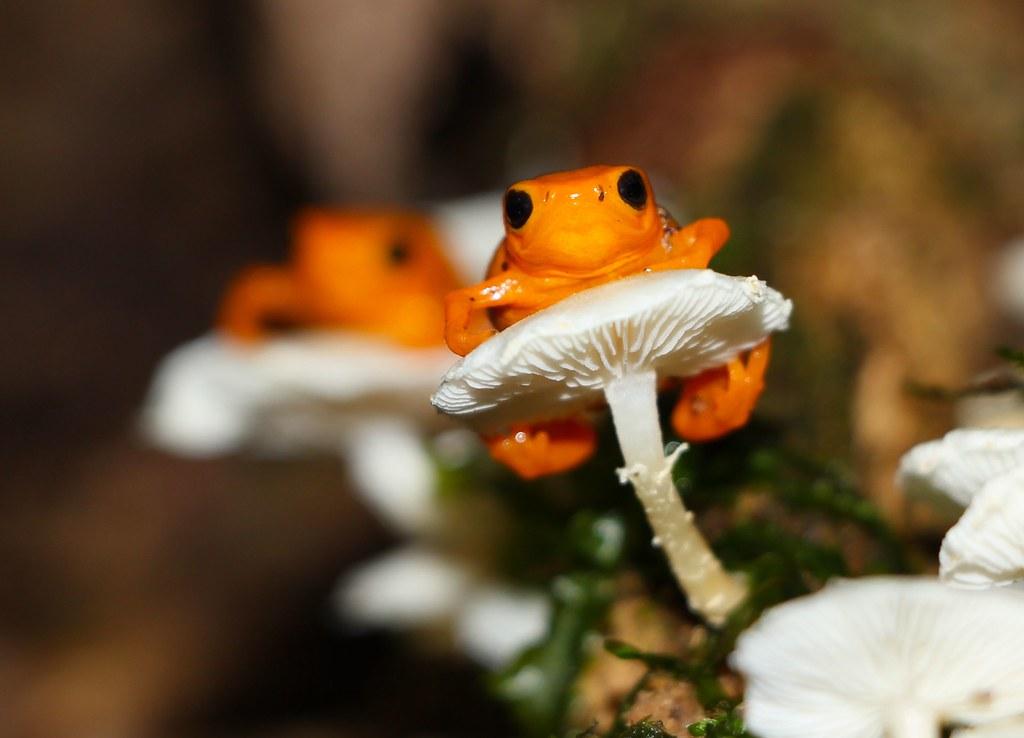 Golden droplet frog