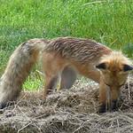 Hungry Fox   --   IMG_20160716_022305