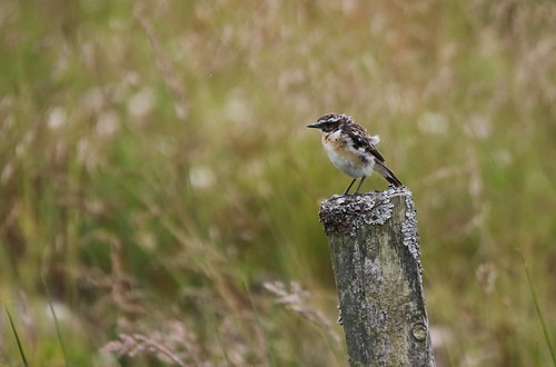 Male Whinchat | by themadbirdlady