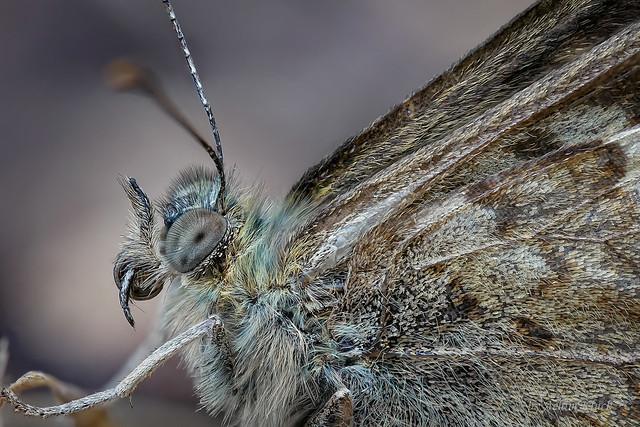 Waldbrettspiel (Pararge aegeria) Tagfalter - Augenfalter - Edelfalter
