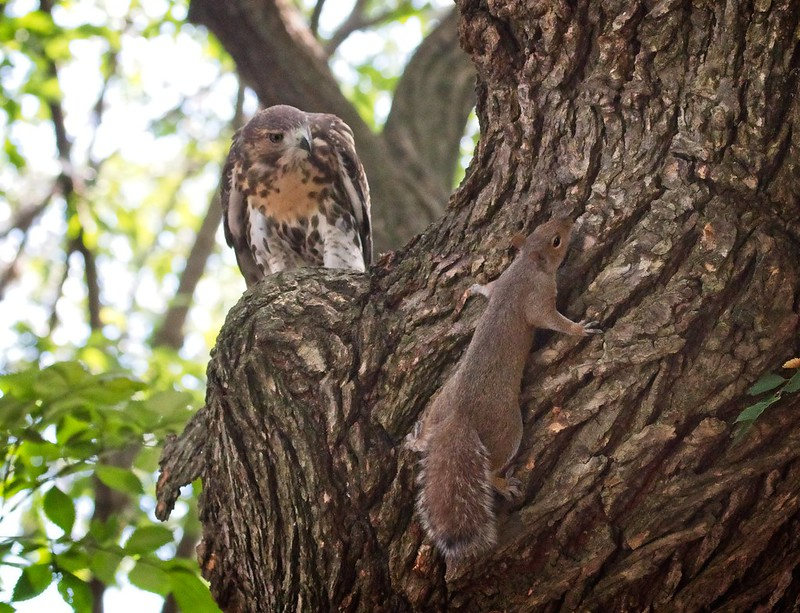 Fledgling hawk confronts a squirrel
