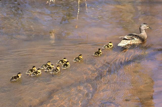 DSC_6808 Momma & 11 Ducklings @ Belmont Lake