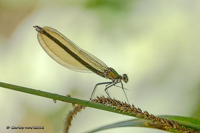 Como tul dorado - Calopteryx virgo (Linnaeus 1758) - [_93A9707_2018072301_1600px]