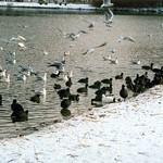 Blässhühner (Fulica atra) und Lachmöwen (Chroicocephalus ridibundus) auf dem Ümminger See