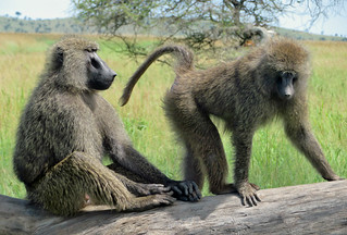 baboons-serengeti | by quirkytravelguy