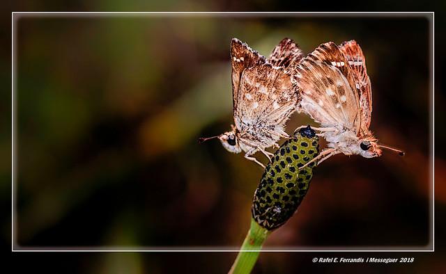 Capgròs comú en cua de cavall (Carcharodus alceae, Equisetum arvense) Mallow Skipper on Field Horsetail (Marjal de Sollana, la Ribera Baixa, València, Spain)