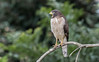 Roadside Hawk by tickspics 