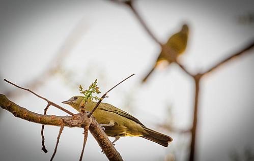 Sanhaço do Coqueiro (Thraupis palmarum)