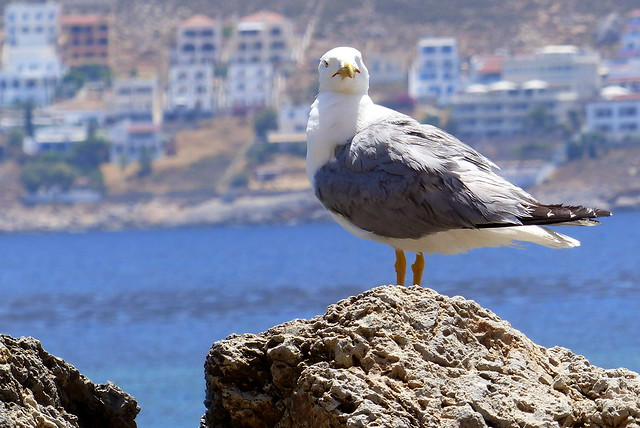 Yellow Legged Gull