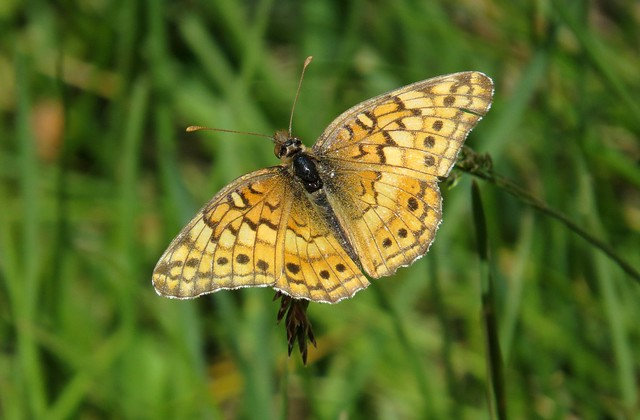 Lovely! Variegated fritillary butterfly (Euptoieta claudia), Arapaho National Wildlife Refuge, CO, June 2017
