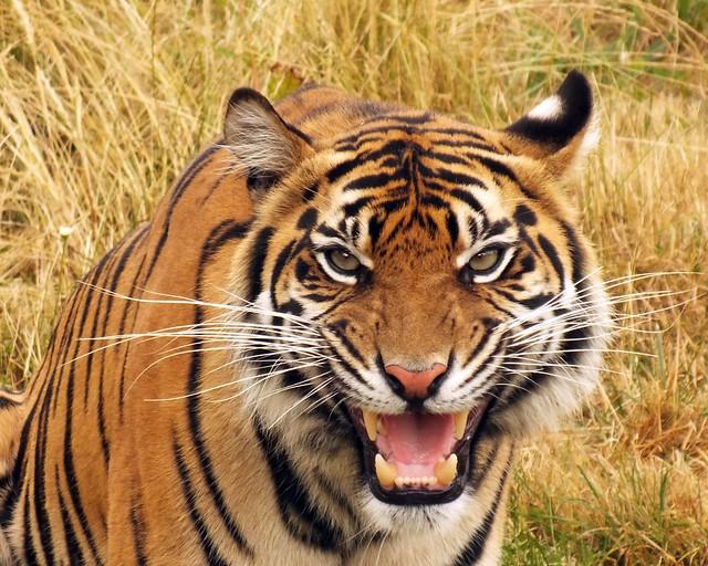 Sumatran tiger (Panthera tigris sondaica) portrait