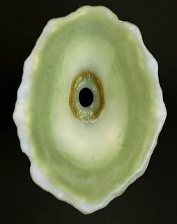 Fissurella barbadensis (Barbados keyhole limpet) (San Salvador Island, Bahamas) 2