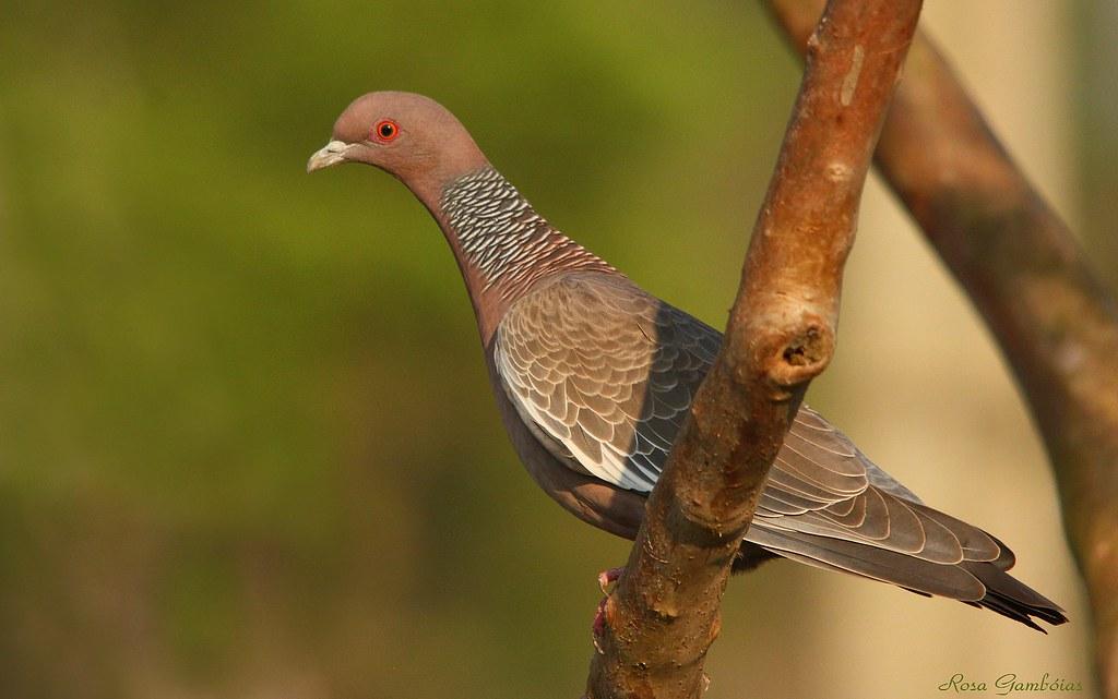 Asa-branca ou Pombão | Picazuro Pigeon (Patagioenas picazuro)