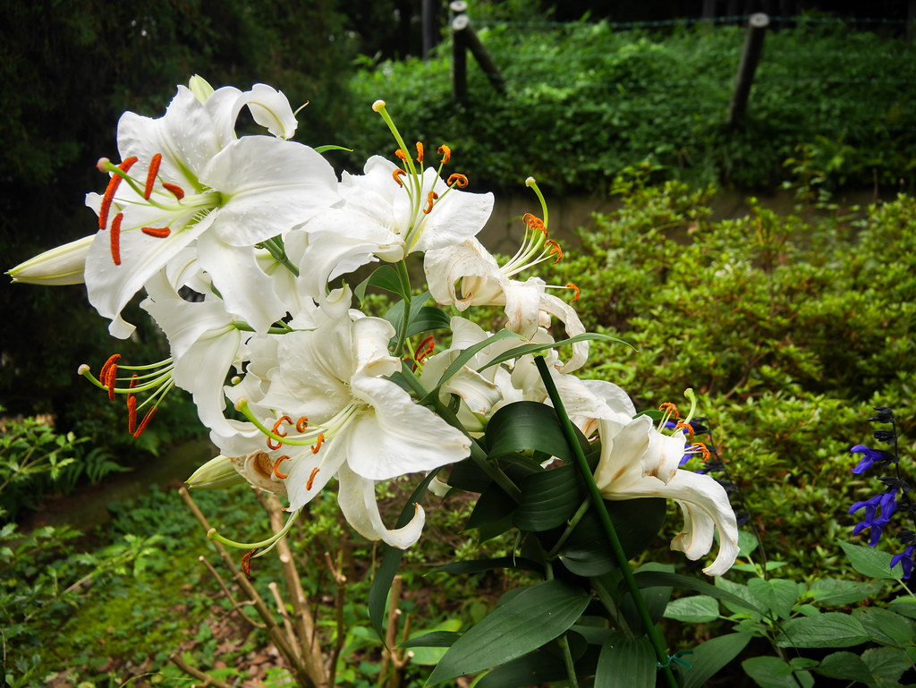 Tokyo White Flowers | White flowers in a well-tended garden … | Flickr