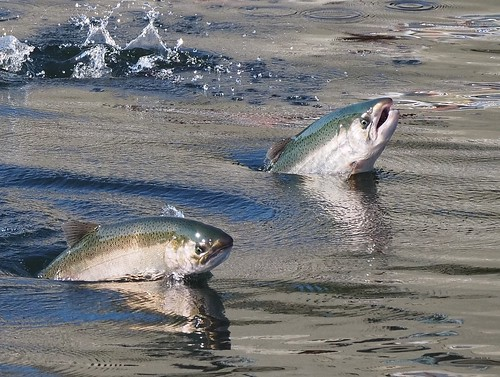 Salmon Leaping at the Locks | by Ingrid Valda Taylar