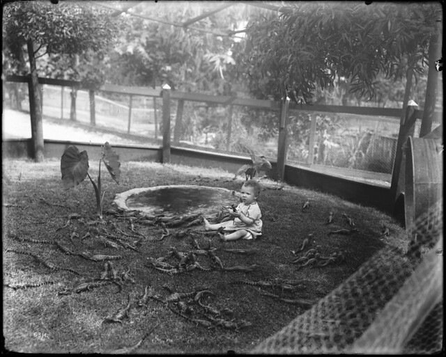A baby playing with young alligators at an alligator farm (possibly the California Alligator Farm, Los Angeles), ca.1900 (CHS-6311)