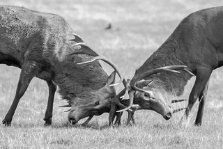 Stags Fighting 4 | by MrT HK