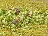 Lesser Whistling-Duck (Dendrocygna javanica) by Francisco Piedrahita