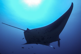 Manta Ray in the Maldives | by ericktseng