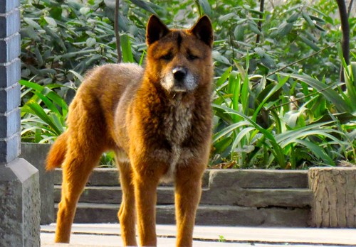 Kunming wolfdog, Chongqing, China
