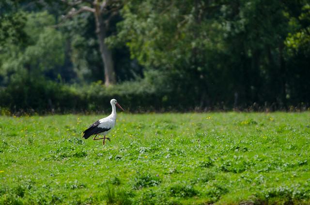 cigogne de la Nièvre