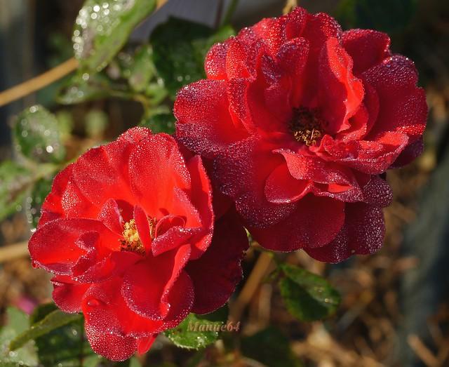 Roses et rosée.