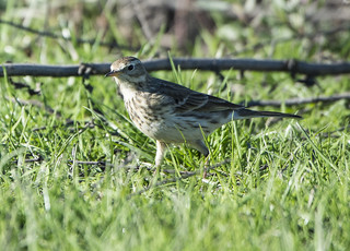 American Pipit (Anthus rubescens) (EXPLORE) | by cv.vick