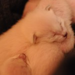 Bluebelle's kittens Dec 2014 Week One 4