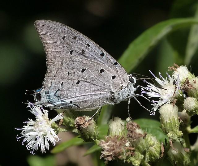 Pseudolycaena marsyas