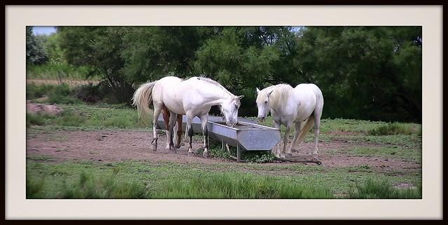FRANCE - Provence, Pferde in der Camargue, Serie, 12439/4771