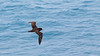 White-chinned Petrel  (Procellaria aequinoctialis) by Mark Carmody
