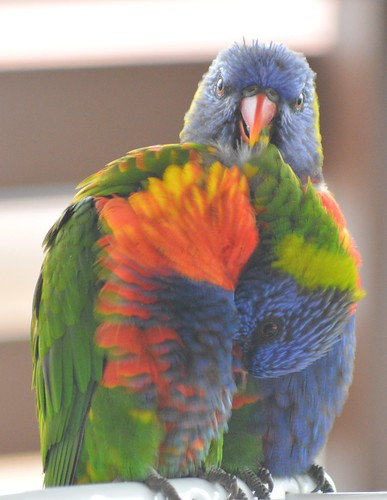 Rainbow Lorikeet, USC Sippy Downs