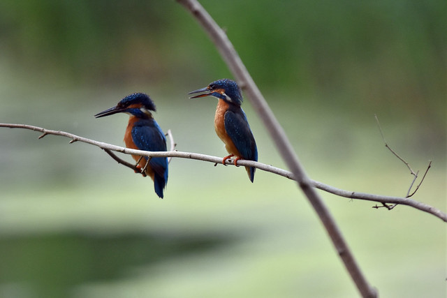 Male and female kingfsher