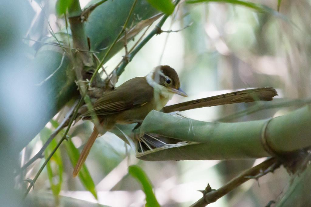 White-Collared Foliage-Gleaner / Anabazenops fuscus