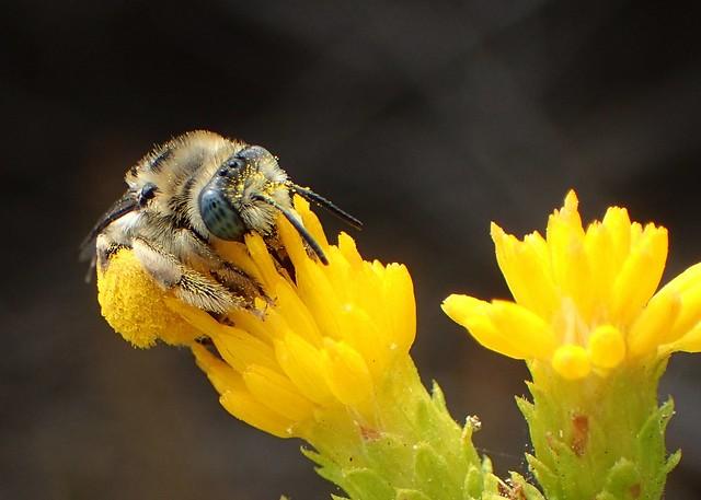 Long-horned Bee (Melissodes stearnsi)