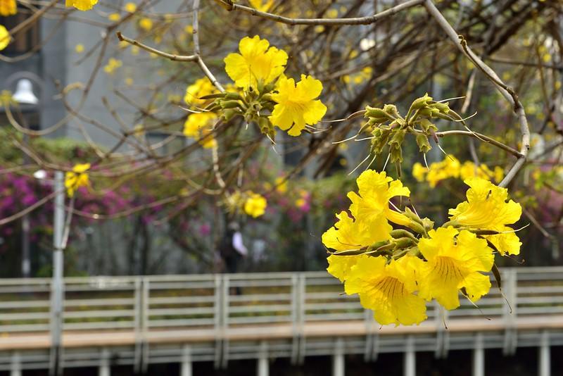 文藻學院黃花風鈴木