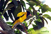 Black-Hooded-Oriole-(Holdey-Pakhi)-2