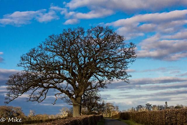 Oak waiting for spring