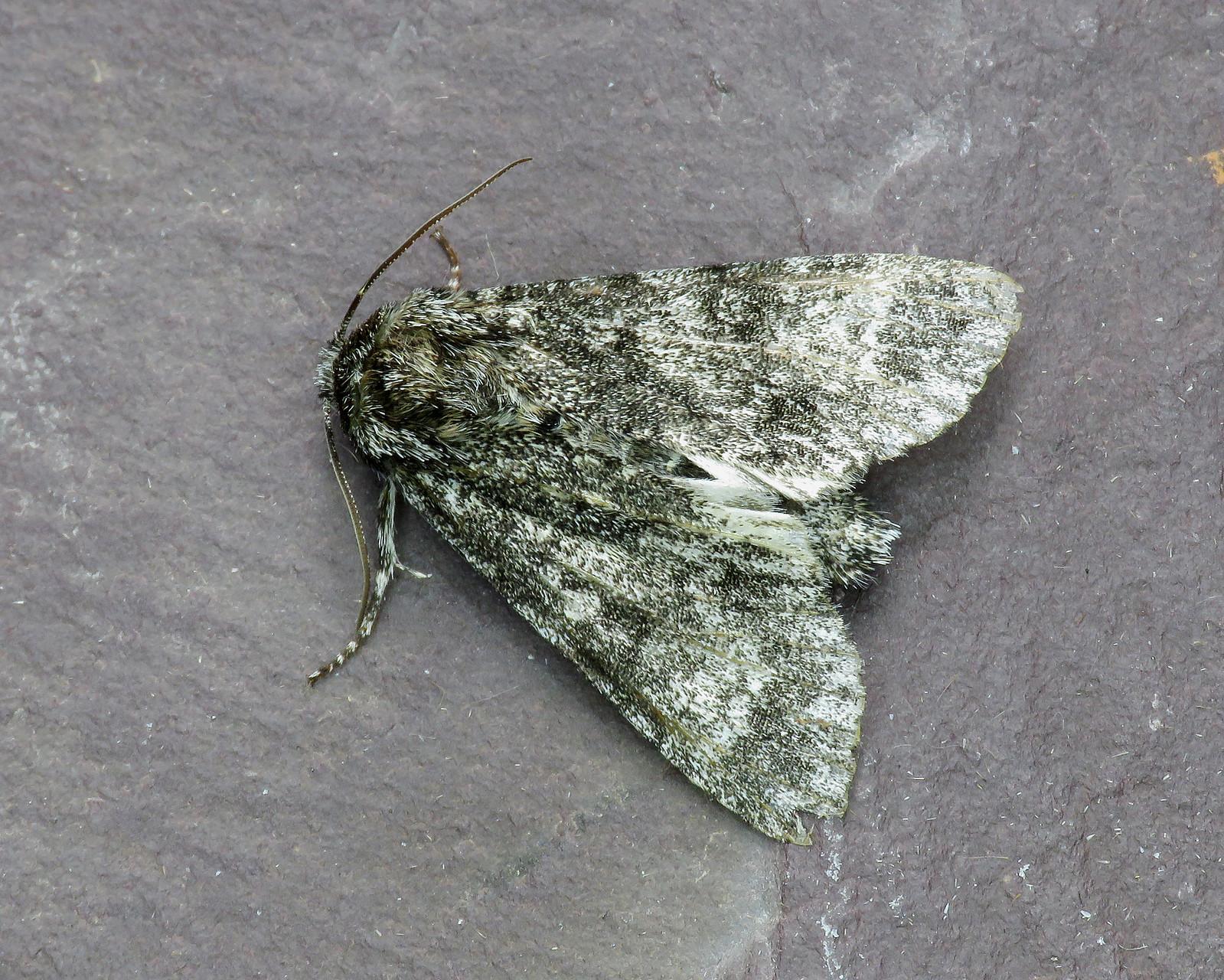 73.046 BF2278 Poplar Grey - Subacronicta megacephala