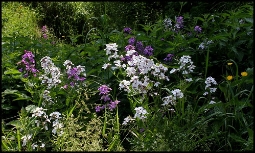 Hesperis matronalis - julienne des dames  28456045266_9cae36ed87