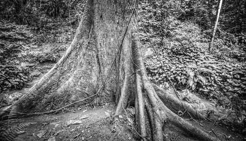 old vacation tree nikon philippines trunk mindanao d800 buttress 2014 cagayandeoro northernmindanao nikond800 anthonysanpedro amsanpedro amsanpedroyahoocom anthonymsanpedro december2014