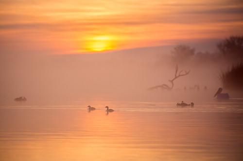 birds sunrise texas ducks pasadena americanwhitepelican piedbilledgrebe mudlake kayakphotography gseloff horsepenbayou galvestonbayestuary