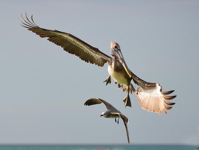 Wingtips illuminated by sunset's warm glow, USA, FL, Naples Beach, pelican in flight